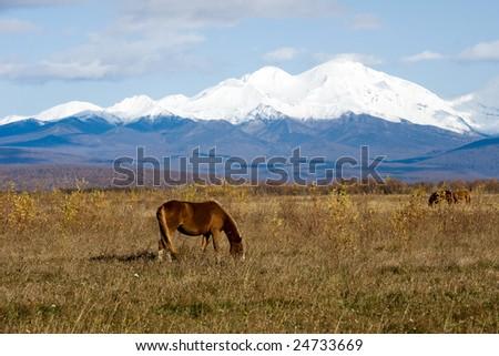 herd of the horses grazes on autumn meadow - stock photo