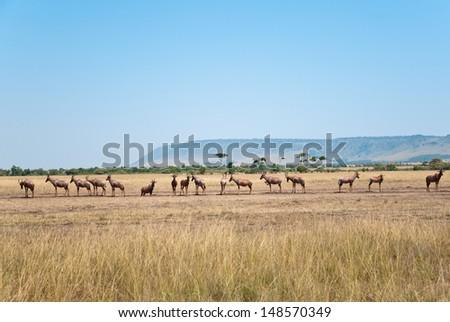 herd of topis standing in a row - national park masai mara in kenya - stock photo