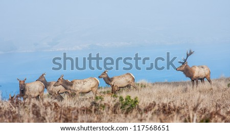 Herd of tule elks in Point Reyes National Seashore, California - stock photo