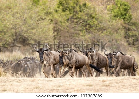 herd of white bearded wildebeest (Connochaetes tuarinus mearnsi)  during annual migration from  Serengeti National Park in Tanzania to greener pastures of  Maasai Mara National Reserve, Kenya  - stock photo
