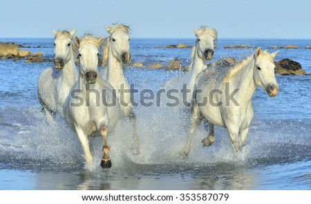Herd of White Camargue Horses galloping on the water . Parc Regional de Camargue - Provence, France  - stock photo