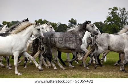 herd of white horses running - stock photo