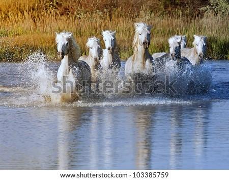 Herd of White Horses Running and splashing through water - stock photo