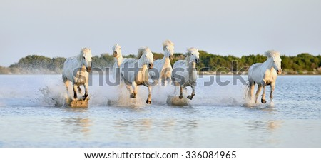 Herd of white horses running through water in sunset light. Parc Regional de Camargue - Provence, France - stock photo