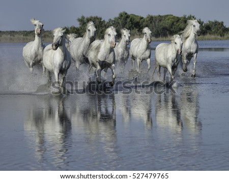 Herd of White Stallions Running Through the Water