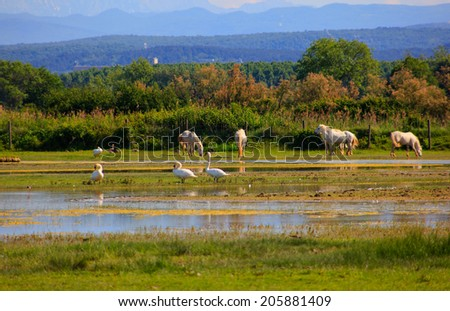 Herd of wild Camargue horses, Soca River Mouth - Italy - stock photo