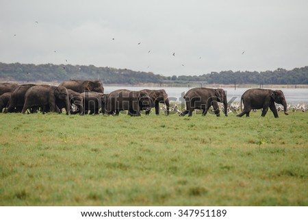 Herd Of Wild Elephants Sri Lanka