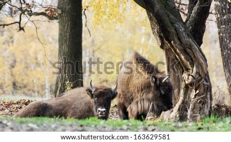 Herd of wild European bison or Wisent (Bison bonasus) in autumn deciduous forest. - stock photo