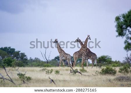 Herd of wild Giraffes standing in open field in Kruger National Park - stock photo