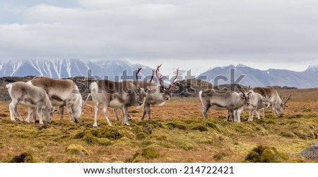 Herd of wild reindeer in Arctic tundra - stock photo