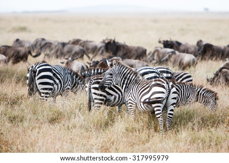 Herd of wildebeest and zebra grazing together on grasslands of African savanna, seasonally migrating for food. Wildlife observation and conservation, tourist safari, overland trip concept.  - stock photo