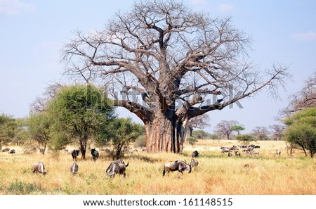 herd of wildebeest and zebra's grazing on the savannah of Africa - stock photo