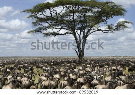 Herd of wildebeest migrating in Serengeti National Park, Tanzania, Africa - stock photo