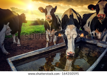 Herd of young calves drinking water at sunset - stock photo