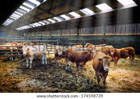 Herd of young cows in cowshed - stock photo