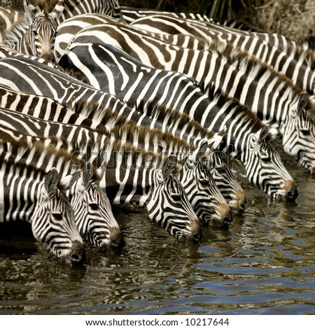 Herd of zebra at Masai mara Kenya - stock photo