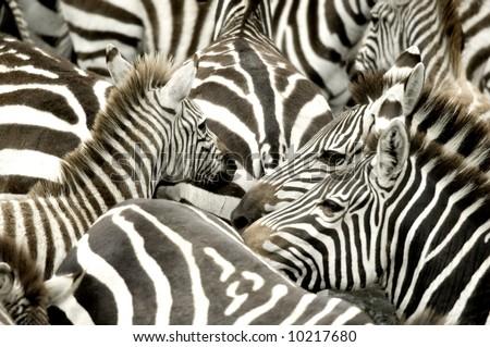 Herd of zebra at Masai mara Kenya - stock photo