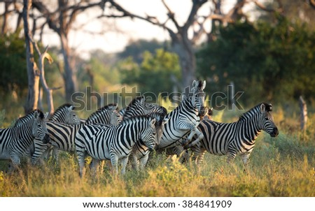 Herd of Zebra in the Savuti Reserve in Botswana