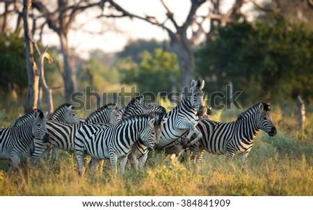 Herd of Zebra in the Savuti Reserve in Botswana - stock photo