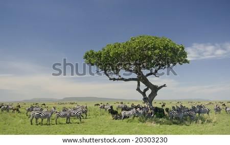 herd of zebra in the Serengeti - stock photo