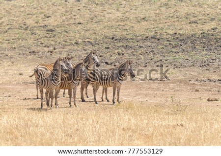 herd of Zebra in the Tarangire National park, Tanzania