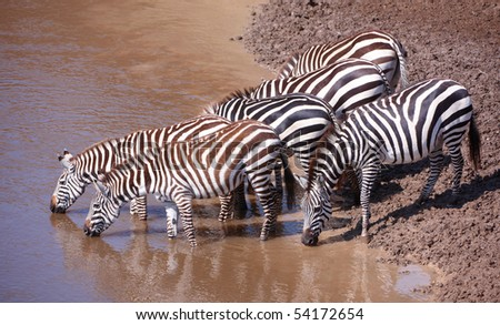 Herd of zebras (African Equids) drinking water from the river in nature reserve in South Africa - stock photo