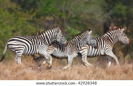 Herd of zebras (African Equids) in nature reserve in South Africa - stock photo
