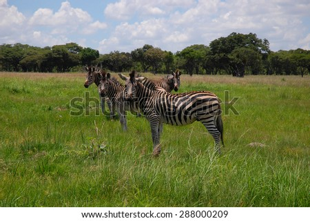 Herd of zebras are seen in Lake Chivero Recreational Park near Harare, Zimbabwe - stock photo