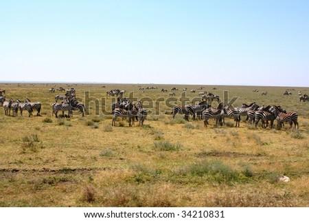 herd of zebras at serengeti national park n tanzania, africa - stock photo