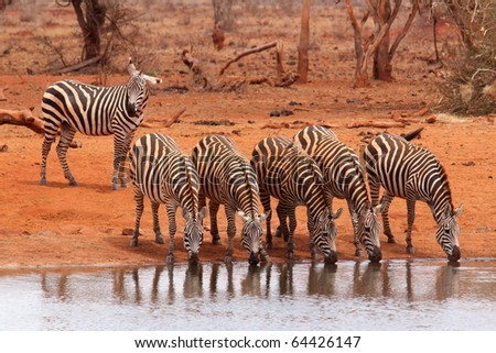 Herd of zebras drinking - stock photo