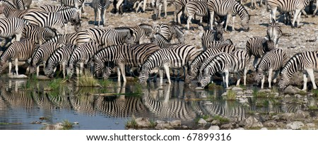Herd of zebras drinking water in Etosha - stock photo