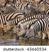 Herd of zebras drinking water in Etosha; Equus burchell's - stock photo