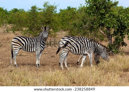 Herd of zebras in Kruger National Park, South Africa. - stock photo