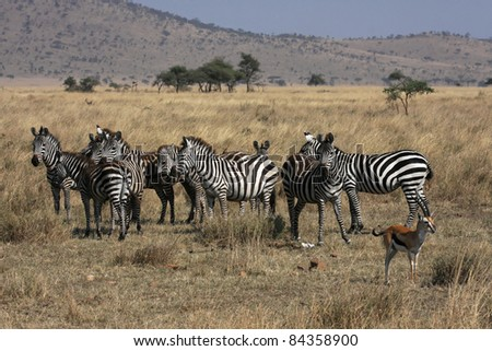 Herd of zebras in Serengeti and a gazelle - stock photo