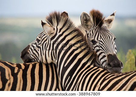 Herd of zebras to grant private reserve pastures gondwana south africa - stock photo