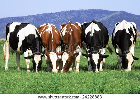 herd ow cows grazing on field - stock photo