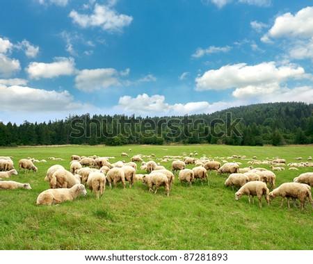 Herd sheep - stock photo