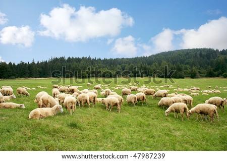 Herd sheep on a beautiful green meadow - stock photo