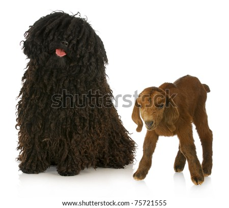 herding dog - corded puli with young goat on white background - stock photo