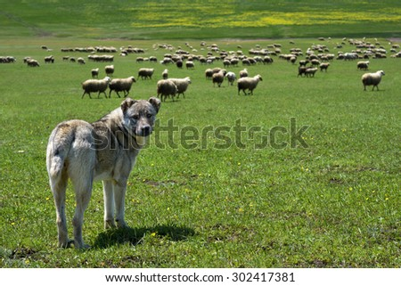 herding dog guarding a large flock of sheep