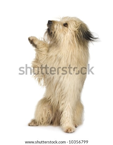 herding dog (4 years) in front of white background - stock photo