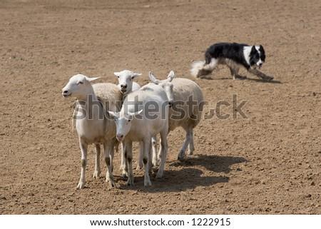 Herding the Sheep - stock photo
