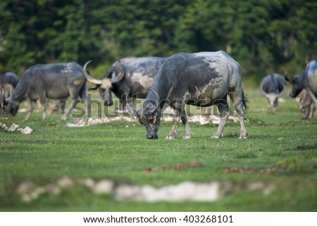 Herds of buffalo in countryside,Thailand