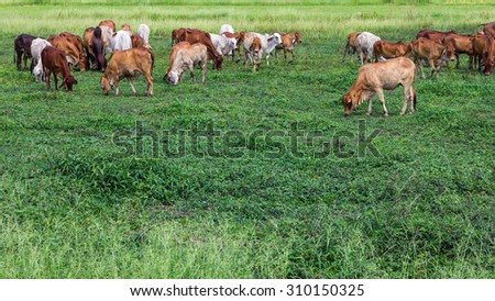 Herds of cattle, which has a lot of standing grazing livestock in the agricultural areas of Thailand. - stock photo