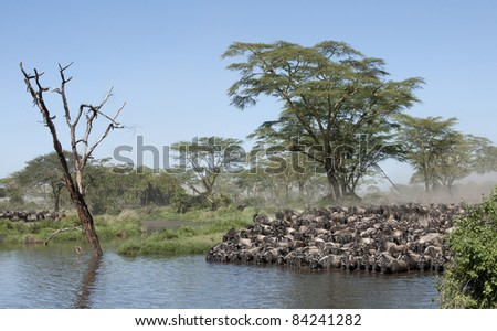 Herds of wildebeest at the Serengeti National Park, Tanzania, Africa - stock photo