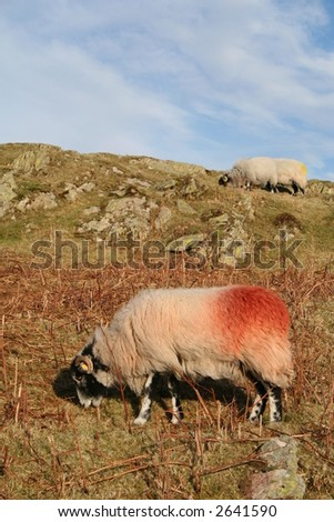 Herdwick Sheep on Cumbrian Fell, England. - stock photo