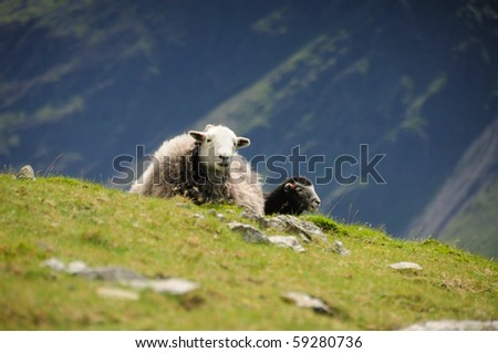 Herdwick sheep on Pillar in the English Lake District, with Yewbarrow in the background - stock photo