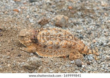 Here is a particularly colorful example of a horned lizard, photographed in Arizona.
