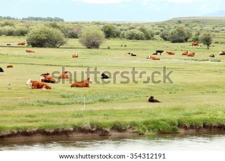 hereford and Black Angus Cattle in a pasture - stock photo
