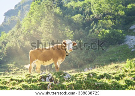 Hereford cattle beef breed red and white cow with cowbell grazing on the slopes of the Alpine mountains. Toned and filtered photo with warm summer sunbeams lighting. - stock photo